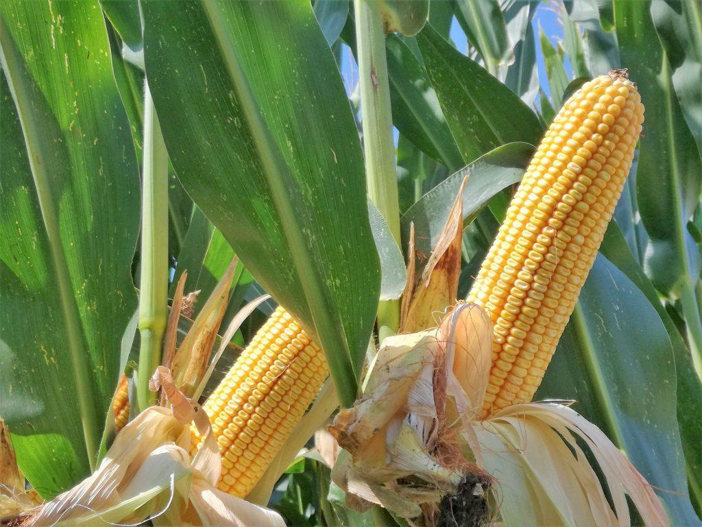 Consorzio agrario di cremona venerd all 39 azienda agricola cap i l 39 evento gradellamaisfest 2019 for Consorzio agrario cremona macchine agricole usate